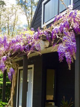 We're in a hysteria over our Wisteria !